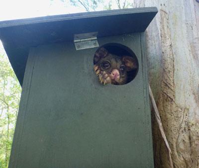Brushtail Possum in nest box Maraylya VCA 2015