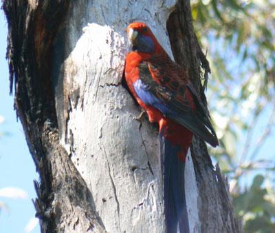 Crimson Rosella nest